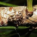 Metylophorus novaescotiae - Common Barklouse - Metylophorus novaescotiae