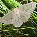 Unknown Moth - Lambdina fiscellaria - male
