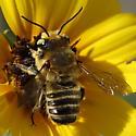 Bluff bee 2 - Megachile parallela