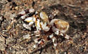 Jumping Spider - Metaphidippus chera - male
