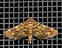 Checkered Apogeshna - Apogeshna stenialis
