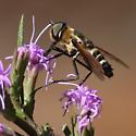 Pollinator on Liatris cokeri - Exoprosopa fasciata
