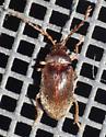 Antlered beetle - Ptilodactyla