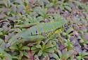 Grasshopper - Booneacris glacialis - female