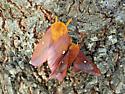 Mating Oakworm Moths - Anisota virginiensis