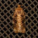 Fruit-Tree Leafroller Moth - Archips argyrospila