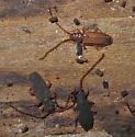 Sylvanid Flat Bark Beetle - Uleiota debilis