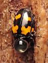 Glischrochilus fasciatus - male - female