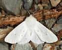 Agreeable Tiger Moth  - Spilosoma congrua