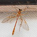 Enicospilus purgatus - female