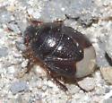 Cydnidae - Microporus obliquus