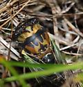 lyric cicada - Neotibicen lyricen