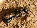 Tiphiid Wasp - Tiphiinae