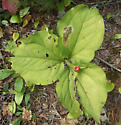 Blotch mine on trillium leaf