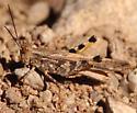 Hopper Nov 9 - Conozoa - male