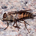 Horse Fly - Tabanus - male