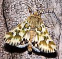 Mead's Flower Moth - Schinia meadi