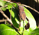Leaf-footed Bug - Leptoglossus