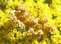 Camouflaged caterpillar on Asteraceae flower - Synchlora aerata