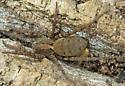 Gladicosa gulosa? - Gladicosa gulosa - female