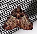 False Underwing - Allotria elonympha - Allotria elonympha