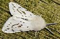 White-dot Moth - Spilosoma dubia