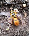 Yellow wasp-hornet of some kind? - Vespula squamosa