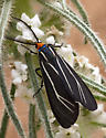 Tiger Moth - Ctenucha cressonana - Ctenucha cressonana
