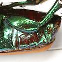 Cotinis mutabilis (Gory & Percheron) - Cotinis mutabilis