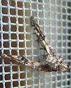 Twig Moth (?) - Marathyssa