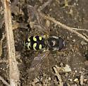 Hoverfly  - Dasysyrphus intrudens