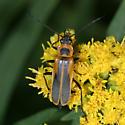Soldier beetle - Chauliognathus pensylvanicus