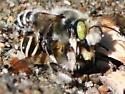 Bees in copula - Megachile - male