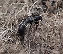 Hairy Rove Beetle (Creophilus maxillosus) - Creophilus maxillosus