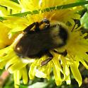 Bombus 6-05-10 06a - Bombus fernaldae