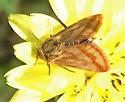 Moth - Schinia mitis