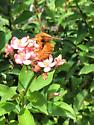 Large Brown Carpenter Bee seen in Tampa, Hillsborough County, Florida  - Xylocopa