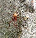 Common house spider - Parasteatoda tepidariorum - male