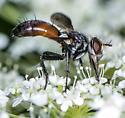 Wasp Mimic ? - Cylindromyia interrupta