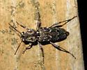 Cerambycid? - Rusticoclytus nauticus - female