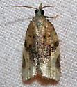 216 Acleris species? - Argyrotaenia franciscana