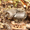 Onthophagus hecate? - Onthophagus hecate