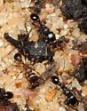 Tetramorium - Tetramorium tsushimae - female