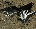 Papilio indra with P. eurymedon - Papilio indra