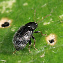 small beetle on eggplant leaf - Epitrix fuscula