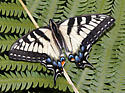 Eastern or Canadian tiger swallowtail? - Papilio canadensis - female
