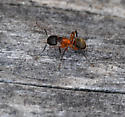 Ant on Driftwood - Camponotus chromaiodes