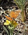 Tiny Checkerspot Butterfly - Microtia dymas