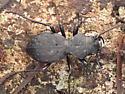 Beetle - Omus dejeanii - male