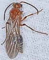 Wasp, dorsal - male